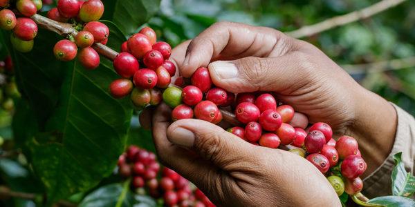 recolte cerises de cafe espresso monte-carlo-